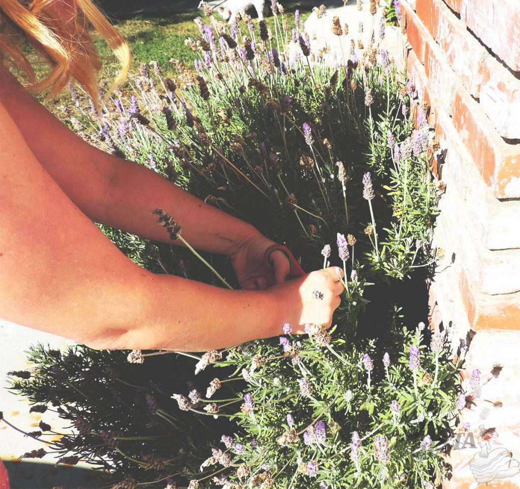 Fresh-cut lavender straight from the garden, used in Lavender Rosemary Donut recipe.